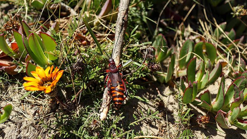 großer rot schwarzer käfer südafrika