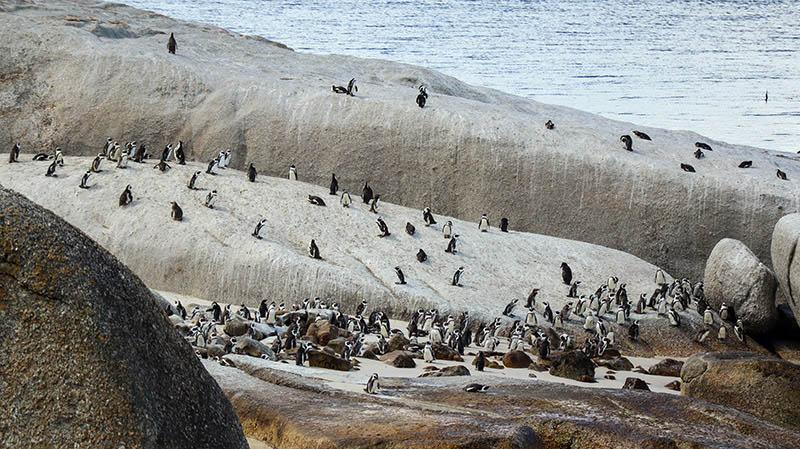 kapstadt simonstown pinguine
