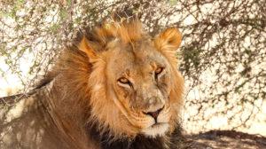kalahari löwe südafrika safari