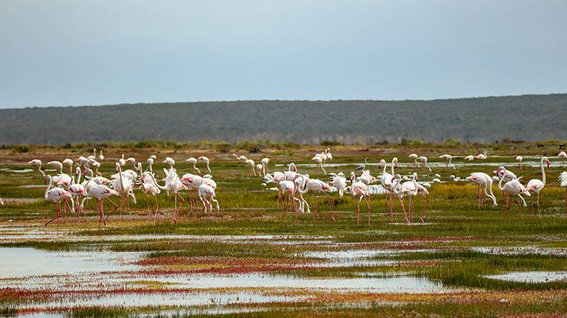 west coast national park südafrika flamingos