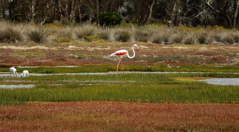 flamingo west coast national park