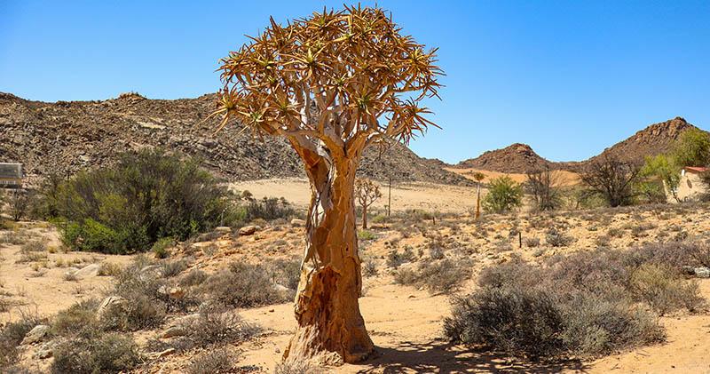 köcherbaum namaqualand