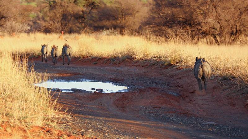 rennende warzenschweine in südafrika