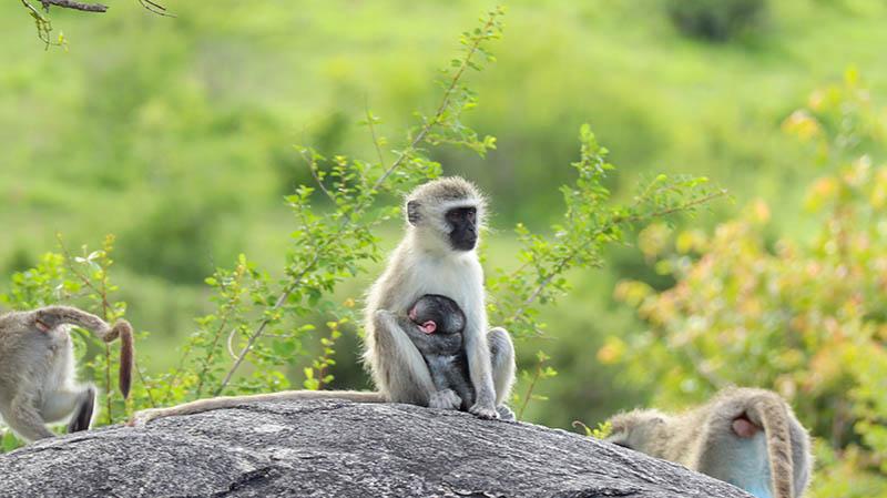 affen kruger national park südafrika