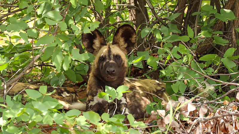 afrikanischer wildhund kruger national park südafrika