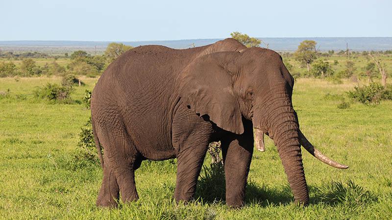 elefant kruger national park südafrika