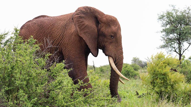 kruger nationalpark elefanten verhalten