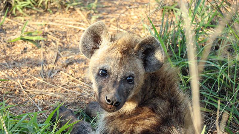 hyäne baby im kruger national park