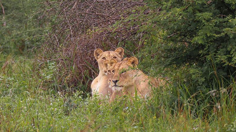 löwen im kruger nationalpark gesichtet