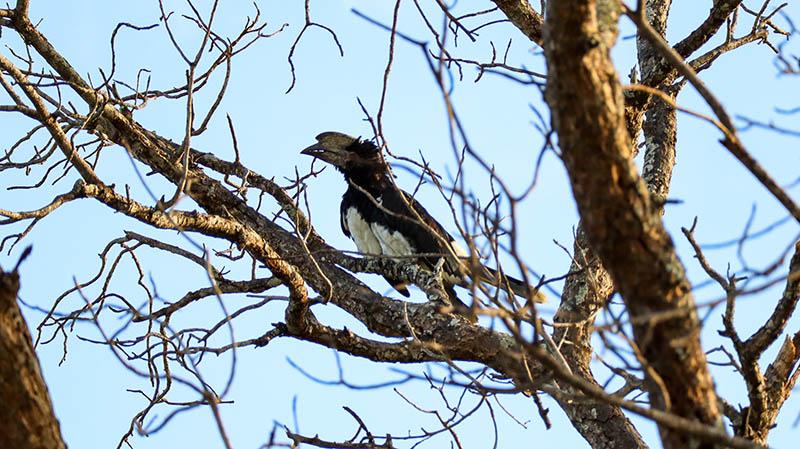 trompeterhornvogel südafrika gesichtet