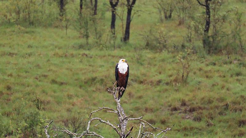 schreiseeadler vogelsafari kruger nationalpark