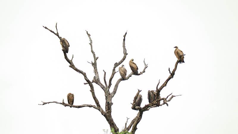 weißrückengeier krüger nationalpark vogelsafari