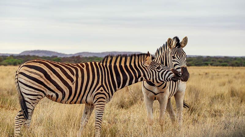 zebra kuss suedafrika safar
